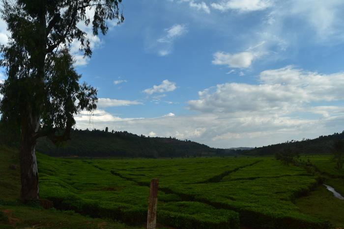 A tea estate in Kibeho